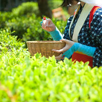 Tea Leaf Harvesting  ( 4 H)