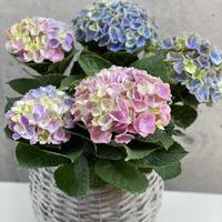 母の日限定!紫陽花 マジカルレボリューション(籠付き)