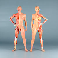 """【9"""" 】立ちポーズ 裸体&筋肉 ハーフ人体模型 22.9 cm"""