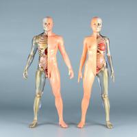 """【12"""" 】立ちポーズ 裸体&骨格と器官 ハーフ人体模型 30.5 cm"""
