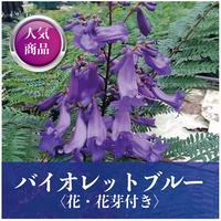 【花・花芽付き】バイオレットブルー