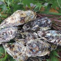 糸島・福吉産真牡蠣5キロ(殻付)