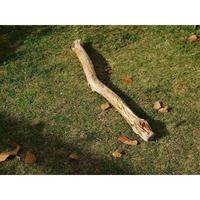 ●国内産 流木(F)68.5cm