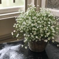 かすみ草 鉢植え