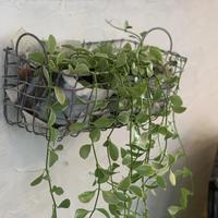 観葉植物 ディスキディア