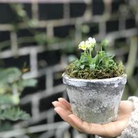 ビオラの鉢植え