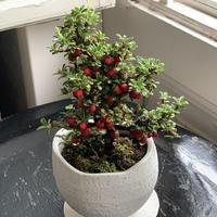 ミニ盆栽   シロシタン
