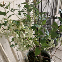 ゼノビア スズランの木