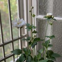 シュウメイギク   白八重咲き