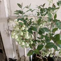 ゼノビア (スズランの木)