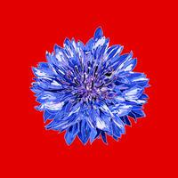 配信限定ミニアルバム『ヤグルマギク』オフィシャル限定特典・デジタルブックレット&「腕枕(Hyper Funk Remix)」音源付き