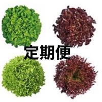 (定期便) 4種類の無農薬水耕レタス、各5袋 合計20袋