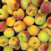 農薬・肥料不使用の完熟梅 5kg