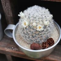 白棘カルメナエ(白花)