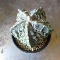 アストロフィツム属 複隆磐石