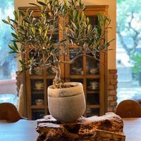 盆栽橄欖樹×Domani  Lucca