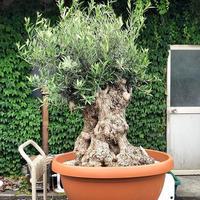 Import Old Olive no.180727-2 <Hojiblanca>
