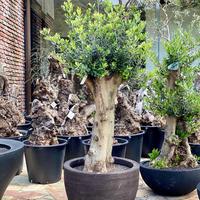 Import Olive no.2019/9/27 N24 <Hojiblanca>  DOMANI