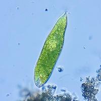 モバイルマイクロスコープ ユーグレナ Euglena  ( x 500 ) smm1.5