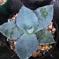 Agave shrevei ssp.matapensis