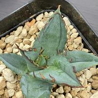 新着 Agave titanota shawii hybrid ②