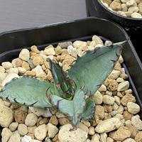 新着 Agave titanota shawii hybrid
