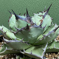 特選 Agave titanota 珍種②