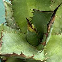 Mexico産 Agave titanota 実生 ③