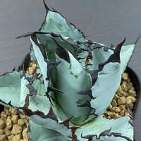 新着 Agave titanota Black & Blue ④