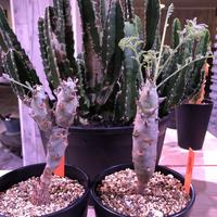pelargonium   carnosum《M size》冬型caudex ※大変綺麗な肌を持つ極美株‼︎