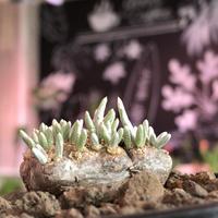 avonia alstonii《小さめM size》※小振なりにどっしりとしたより偏平塊根と冬型らしい愛くるしい葉が堪らない人気者‼︎※ mad black pot植え