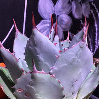 agave    parryi(M size)