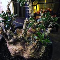 packypodium   saundersii(XL size)※現地球発根済み株‼︎  ※木質化した表皮と躍動感ある枝ぶり‼︎