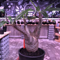 packypodium  gracilius《M size》※現地球株  発根済み株‼︎  (限定1株)バランスの取れた手乗りサイズ ※mad black pot植え