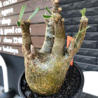 pachypodium gracilius《M size》一部希少green肌&良枝振り株※現地球発根後店主国内管理4年株※ぼってり樹形&良枝振りの良樹形※mad black bowl pot植え