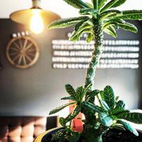希少 dorstenia   gigas《小さめM size》littmon  seed🌱3年株※大変良き樹形balanceの将来有望ギガス‼︎※mad black pot植え