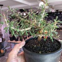 sarcocaulon  camdeboense《 L  size》※mad black pot植え 希少サルコ‼︎ 開花前枝&幹が白くなります‼︎