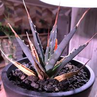 agave    utaensis  eborispina《S size》