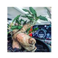 euphorbia tulearensis《 L L size》※驚愕‼︎最高峰のbig塊根を持つ希少性激高塊根ユーフォルビア‼︎全体balanceも良く激オススメ株※mad black pot植え
