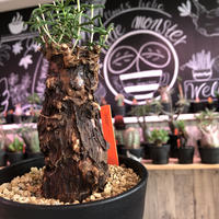 mestoklema   tuberosum《M  size》※冬季も成長&開花する潅木‼︎ずっしり構えのwildな出立ち‼︎成熟株の表皮肌質‼︎※限定1株