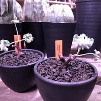 pelargonium  mirabile《S  size》追加第二弾‼︎ 芽吹き済み株‼︎ ※限定2株  ※愛おしく堪らないと感じる冬型の人気者‼︎ ※mad black bowl pot植え‼︎