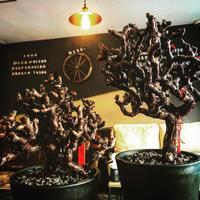 pelargonium  mirabile《L L size》※国内7年  店主管理株  幹上がり仕立て  mad black pot植え