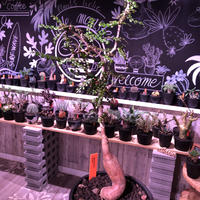 opercullicarya   decaryi  littmon  seed🌱  《5年株》mad  black  pot植え (限定1株)※当店実生デカリー最高株元size‼︎