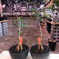 opercullicarya   packypus  littmon  seed🌱 《3年半株》幹も太く‼︎&枝振り樹形良きパキプス‼︎※mad black bowl pot植え※限定2株
