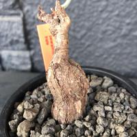 pelargonium  triste《M size》※冬型の人気者‼︎トリステ‼︎元気に葉を展開中‼︎※mad black pot植え