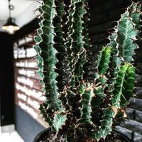 euphorbia  tortirama《L size》※極上株‼︎極太多肉質葉をwildに捻りながら展開‼︎寒さにも強い強靭トルチラマ‼︎花付きも良く激オススメ株※mad black pot植え