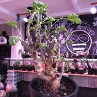 pelargonium   crithmifolium《L size》※塊根部分から芽吹き年々樹形がボコボコと変化しギザギザ葉も可愛い冬型 ※mad black pot植え