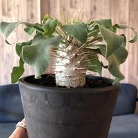 packypodium  namaquanum  光堂《M size》希少極美株‼︎ 冬型パキポ‼︎ ※mad black pot植え 店主管理4年株