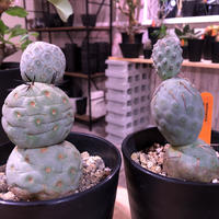 tephrocactus   geometricus《M size》