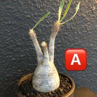 packypodium   gracilius《S size》